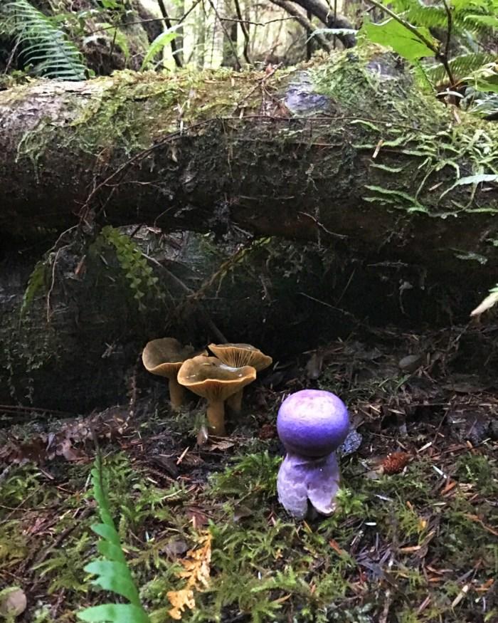 """Purple """"ghost-like"""" mushroom and several orange mushrooms on Cape Alava Trail"""