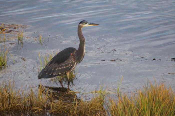 Great Blue Heron on Wa'atch River bank