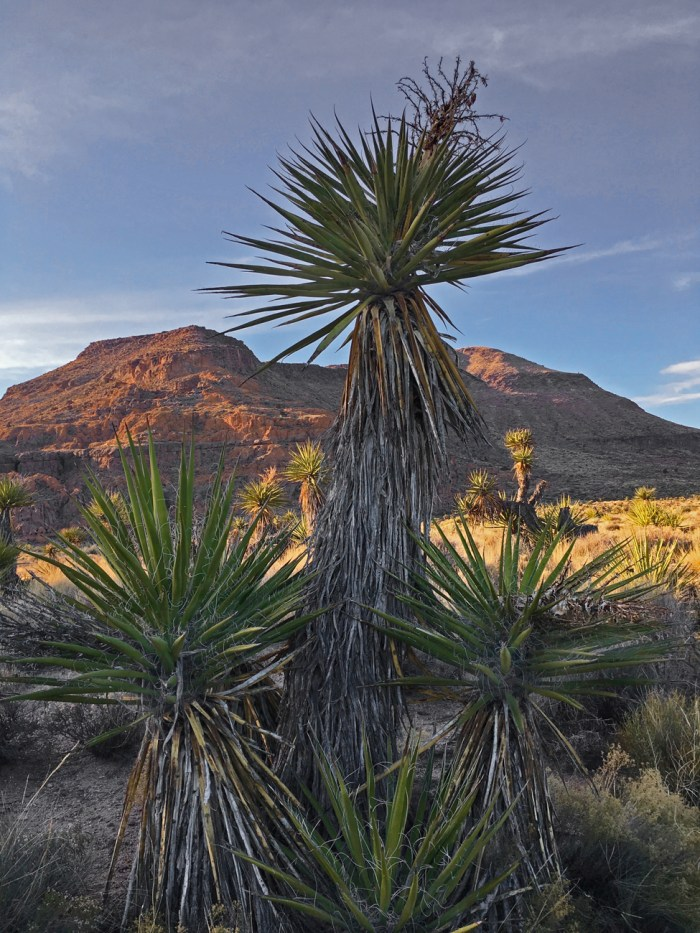 Yucca on the nature trail at Hole-in-the-Wall Campground with the sun setting on the desert and mountains in the background