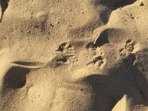 Hind feet and tail tracks of a kangaroo rat in dune sand at Kelso Dunes