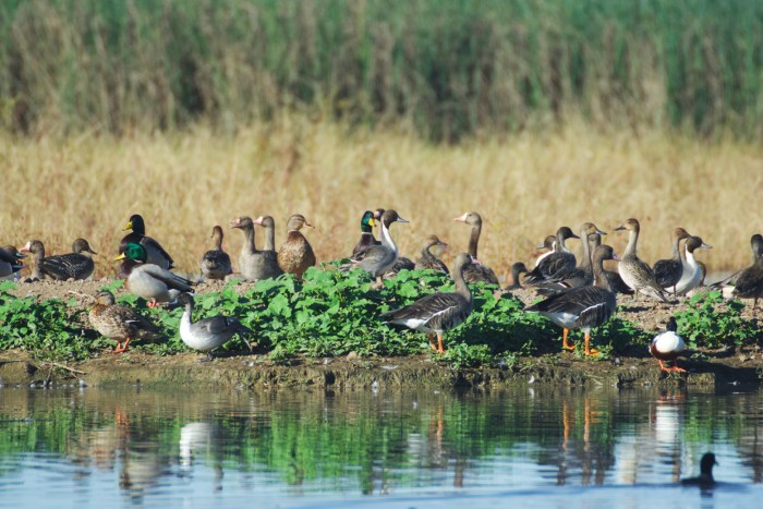 Greater white-fronted geese, northern pintails, and mallards gathered at the edge of a pond at Sacramento NWR