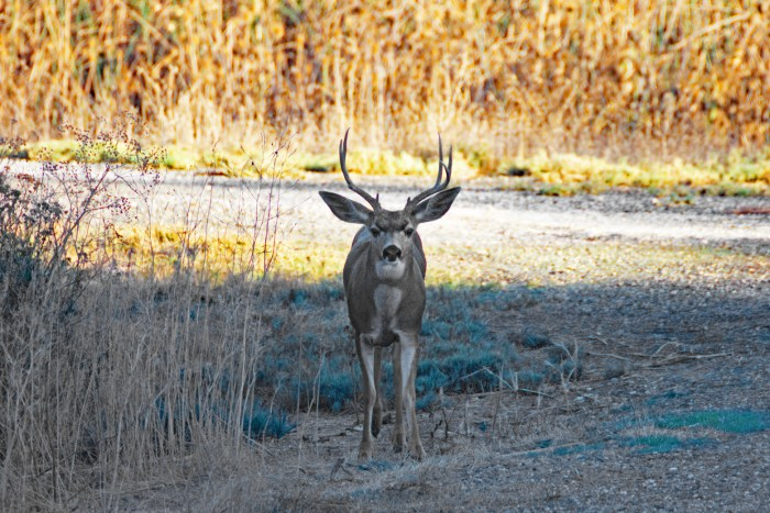 Black-tailed deer (buck) at the Sacramento NWR