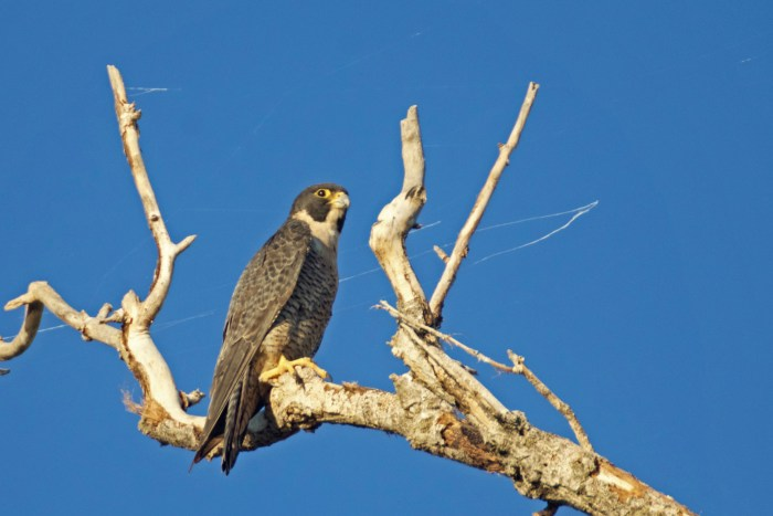 Peregrine falcon perched in a tree at the Sacramento NWR