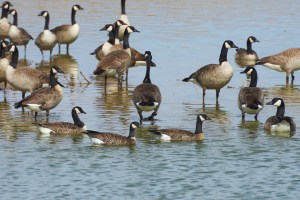 Canada geese and the smaller, shorter-billed cackling geese in the main wetland at Cibola