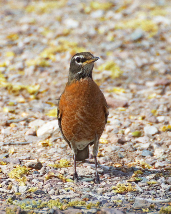 American robin on the gravel path at Cibola