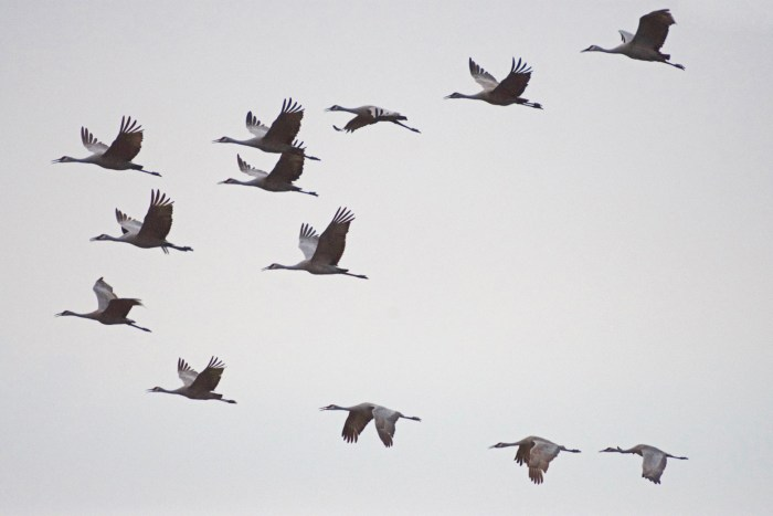 Flock of sandhill cranes flying at Cibola