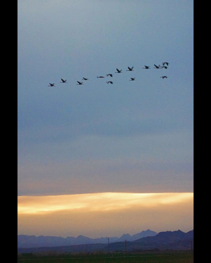 Sandhill cranes flying in the sky with clouds lit by the sunset