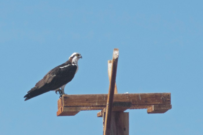 Osprey on nest platform at Cibola