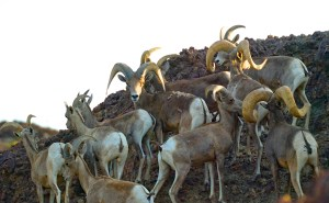 A group of ewes and rams standing on a rocky hillside