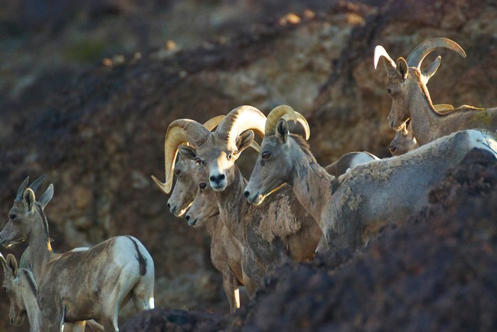 Close-up of desert bighorn rams