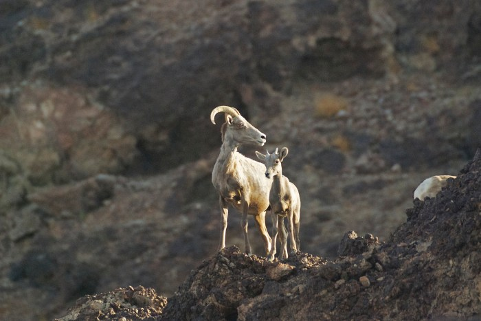 Desert bighorn ewe and kid standing on a rocky outcrop