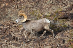 Desert bighorn ram walking on a rocky hillside