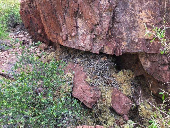 Collection of branches and cholla cactus bits under a boulder making up a woodrat nest
