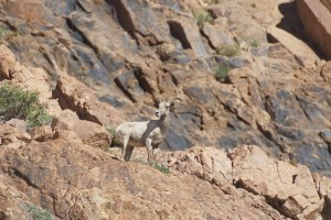 Bighorn ewe turning her head to look back