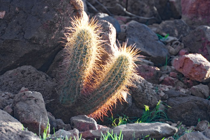 Cactus growing out of rock with long needles glowing yellow and orange in the sun
