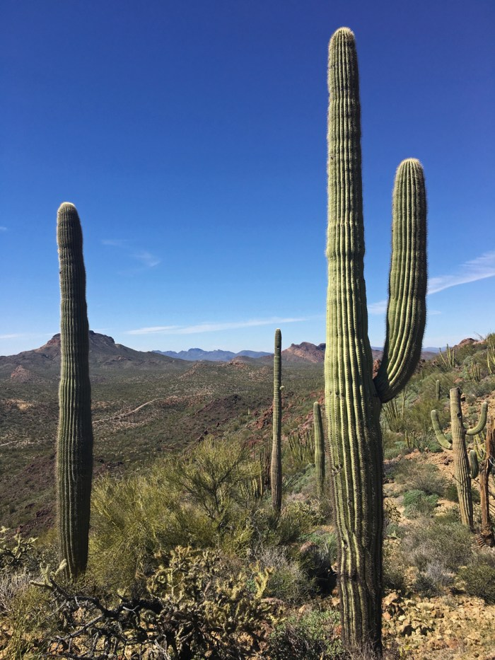 Tall saguaro cacti in the foreground and expansive desert mountains and valleys in this view from Bull Pasture Trail
