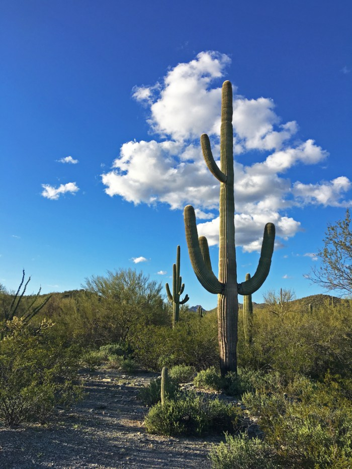 Tall saguaro cactus with four arms reaching up into a puffy, white cloud