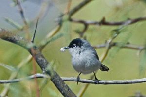 Black-tailed gnatcatcher perched on a mesquite branch in Alamo Canyon with a bit of fluff in its beak