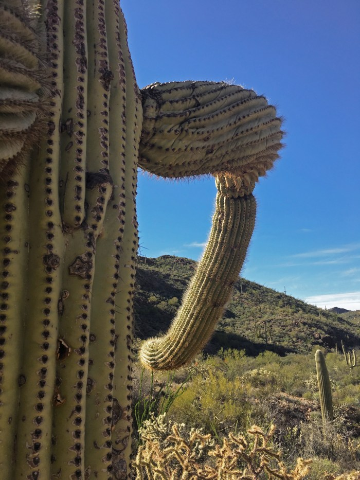 Close up of the trunk and arm of a saguaro cactus in Estes Canyon