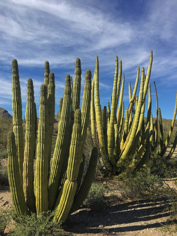 Close-ups of organ pipe cacti in the Senita Basin