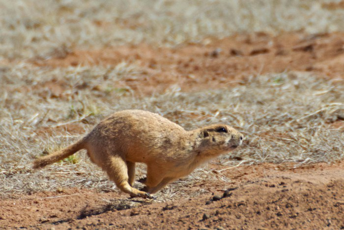 Black-tailed prairie dog running - off the ground, front feet back and hind feet reaching out front