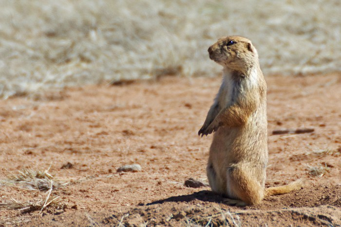 Black-tailed prairie dog sitting up on hind feet, arms out in front, alert