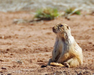 Black-tailed prairie dog sitting down, arms in front, looking exhausted