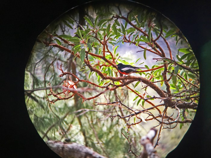 Painted redstart on a manzanita branch through Michael's binoculars