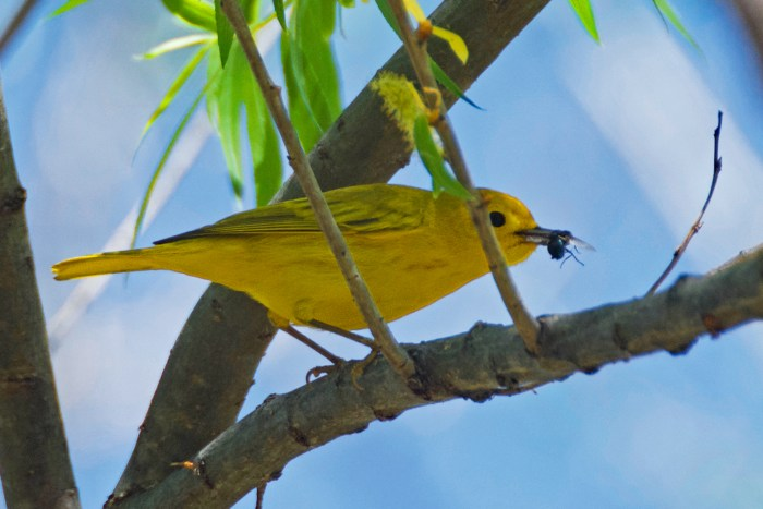 Yellow warbler with a fly in its beak
