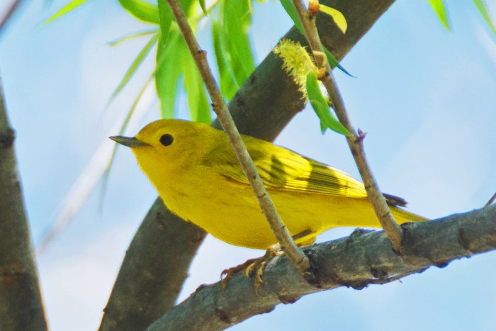 Yellow warbler perched on a willow branch