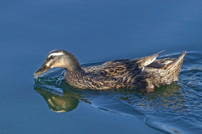 Domestic mallard on calm waters with reflection in the lake