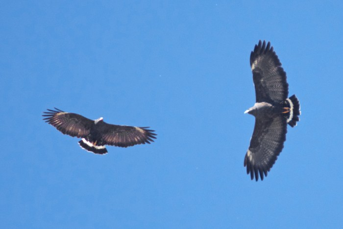 Two common black hawks soaring in a bright blue sky