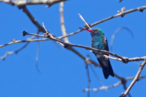 Broad-billed hummingbird - orange billed, bright green and blue feathers