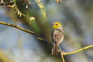 Verdin (yellow-faced small bird) sitting on a branch, head turned