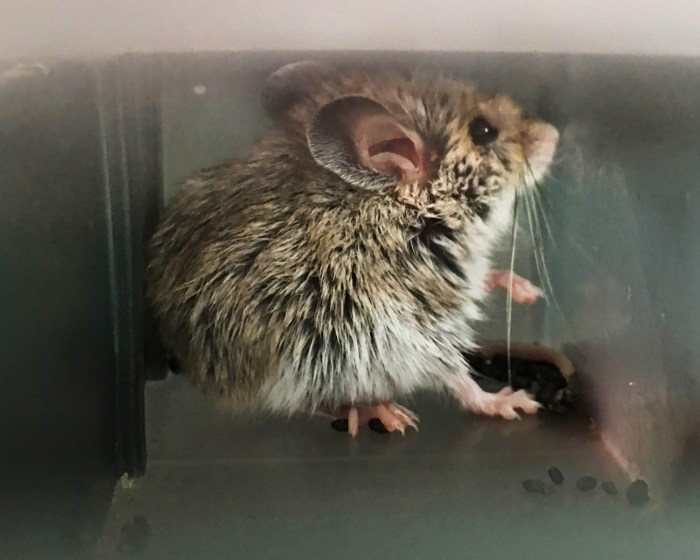 Mouse tucked into the corner of the trap trying to look through the plastic panel