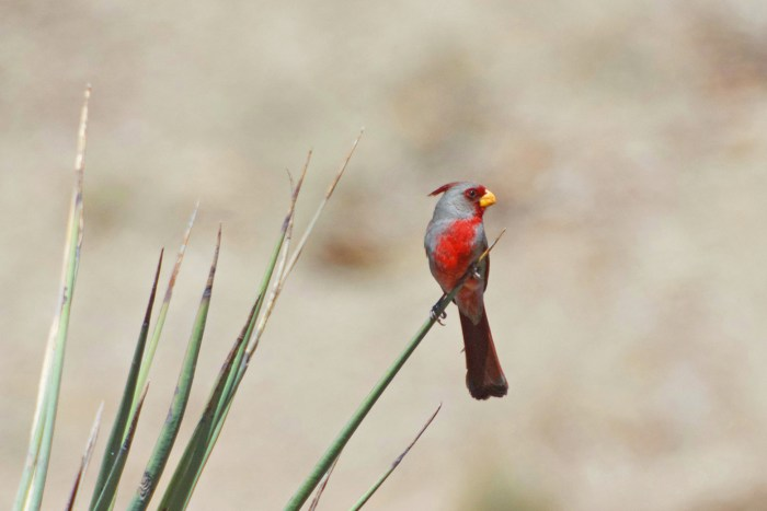 Pyrrhuloxia, a cardinal-like bird, perched on the end of a yucca leaf in Big Bend National Park