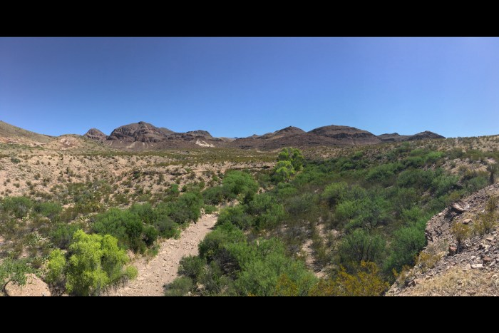 Mule Ears Spring trail where it enters a sandy wash with bright green shrubs growing in the wash in Big Bend National Park