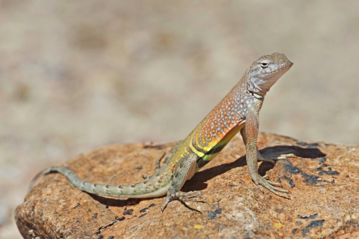 Greater earless lizard sitting up on a rock with front legs fully extended at Grapevine Hills in Big Bend National Park
