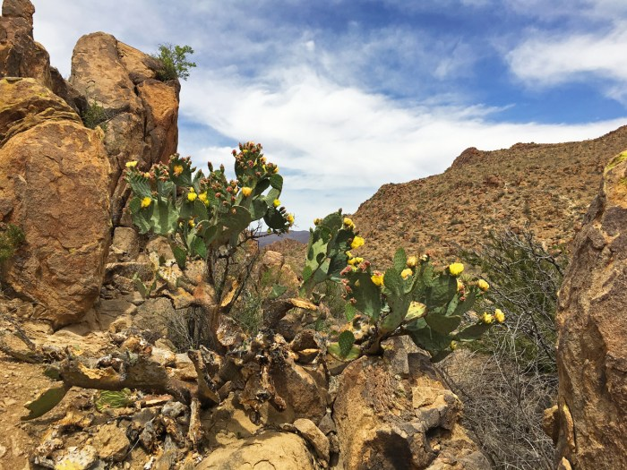 A cactus with yellow blooms among the rocky outcrops along Grapevine Hills trail in Big Bend National Park