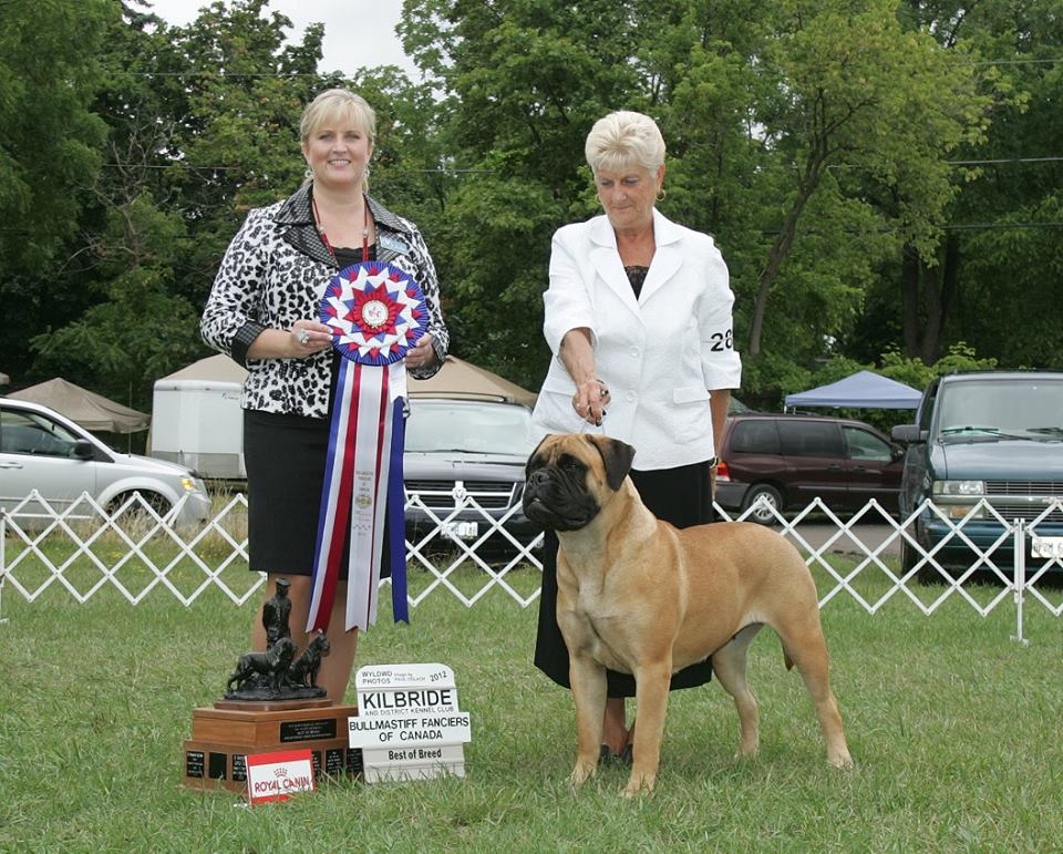 Bramstoke's Paige Turner, Best of Breed, Bullmastiff Fanciers of Canada Regional Specialty Breeder