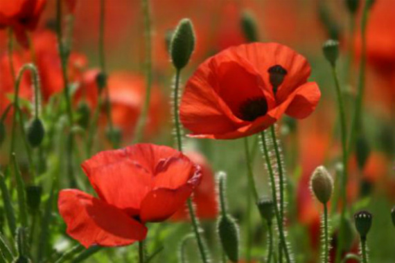 poppies.jpg (570×380)