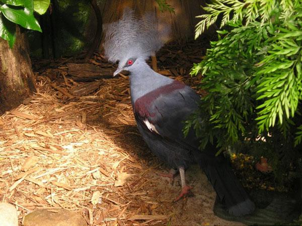 Australian Pigeon Strikes a Pose
