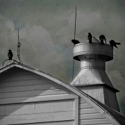 Roosting Crows