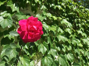 pink_rose_against_ivy_wall