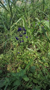The purple-blue colour of these berries attracted me.