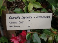 Camellia Japonica x Lutchuensis