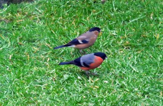Bullfinch pair_1 12042016