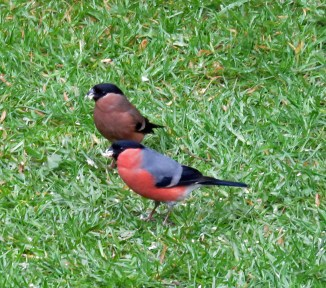 Bullfinch pair_2 12042016
