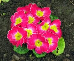 Pretty primrose 06042016