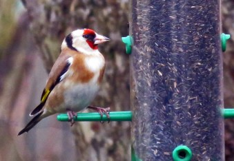 Goldfinch on nyger seed